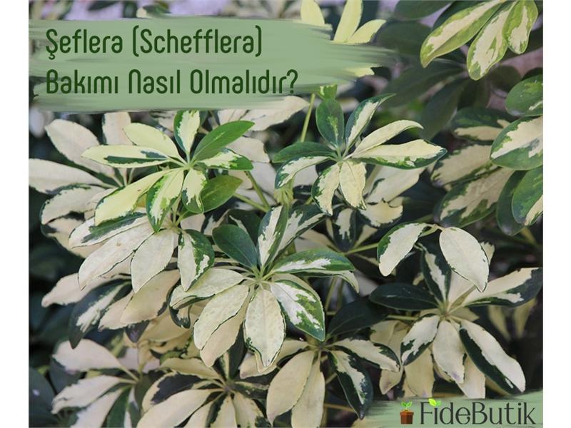 Şeflera (Schefflera) Bakımı Nasıl Olmalıdır?