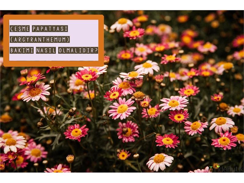 Çeşme Papatyası (Argyranthemum) Bakımı