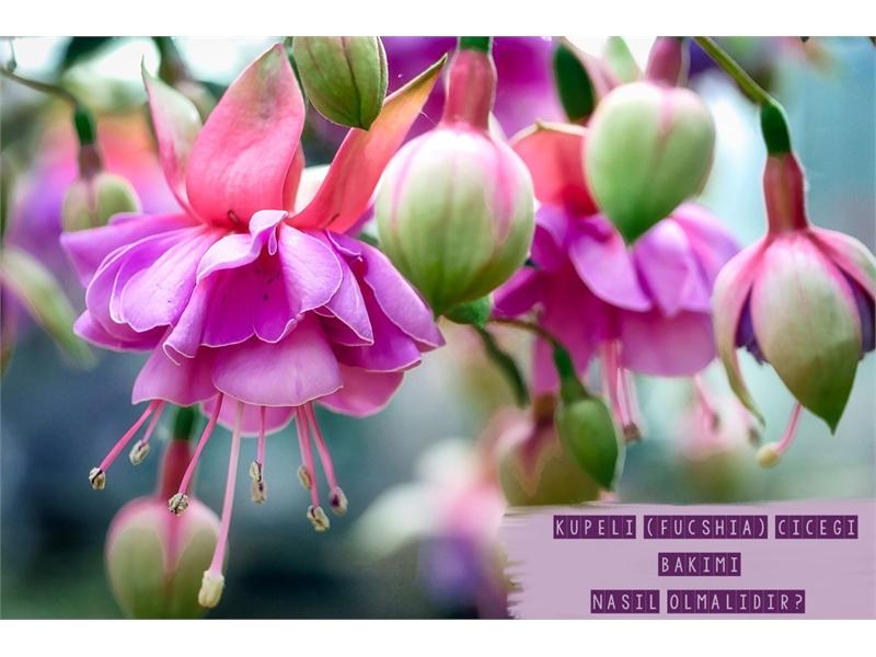 Küpe Çiçeği Bakımı