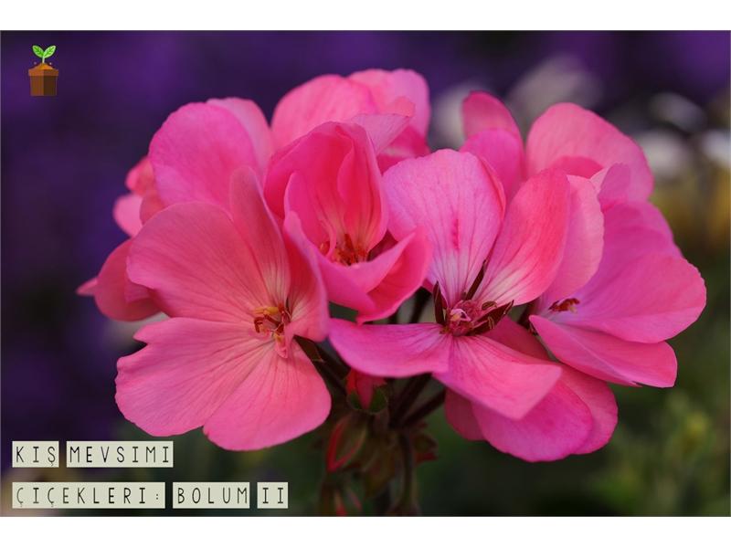 Kış Mevsimi Çiçekleri! (Bölüm 2)