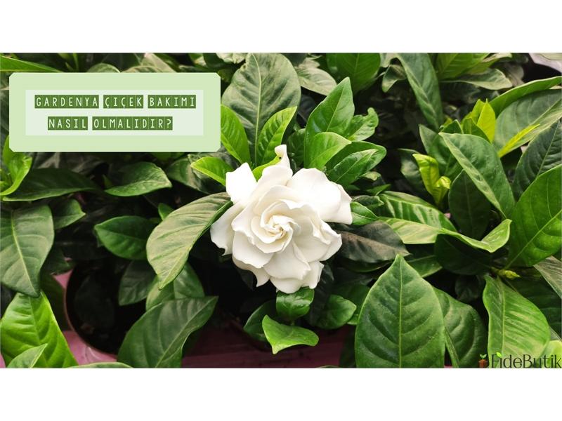 Gardenya (Gardenia) Çiçeği Bakımı