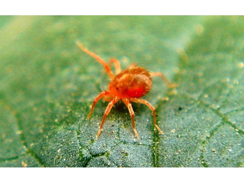 Kırmızı Örümcek ve Yaprak Biti Gibi Haşerelerden Nasıl Kurtulursunuz?