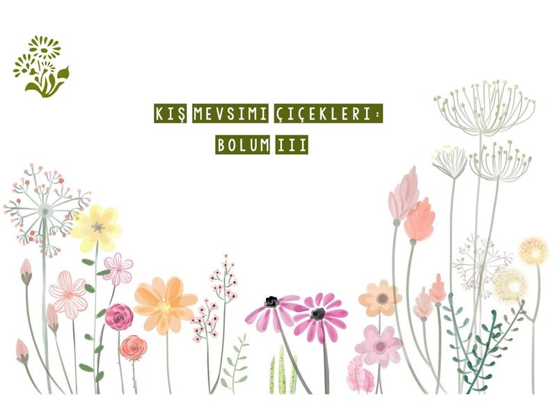 Kış Mevsimi Çiçekleri! (Bölüm 3)