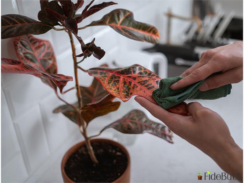 Kraton Bitkisi (Croton Excellent) Bakımı