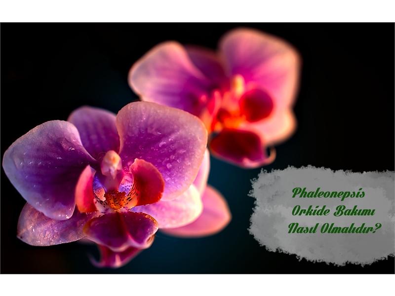 Nadide Güzellik: Detaylı Orkide (Phaleonepsis) Bakımı