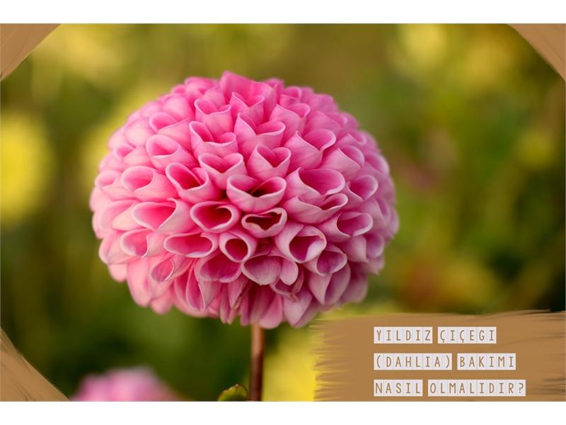 Yıldız Çiçeği (Dahlia) Bakımı
