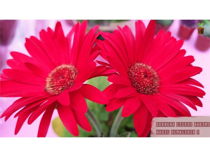Gerbera Çiçeği Bakımı Nasıl Olmalıdır?
