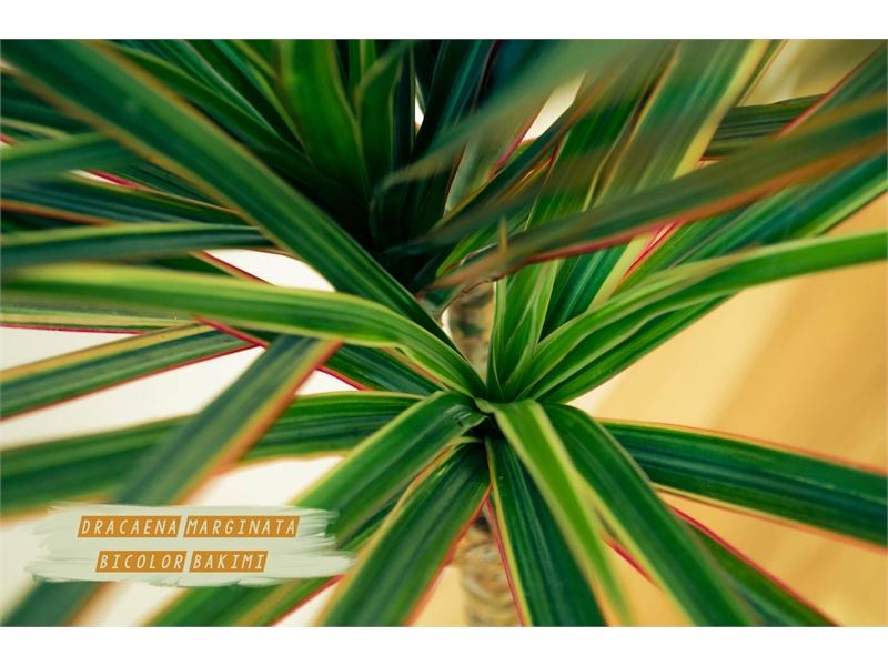 Dracaena Marginata Bicolor Bakımı