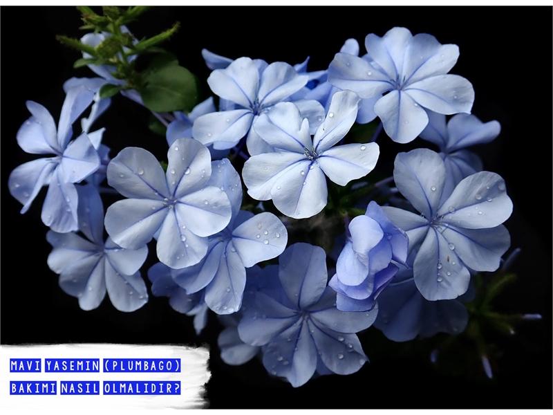 Mavi Yasemin (Plumbago) Bakımı
