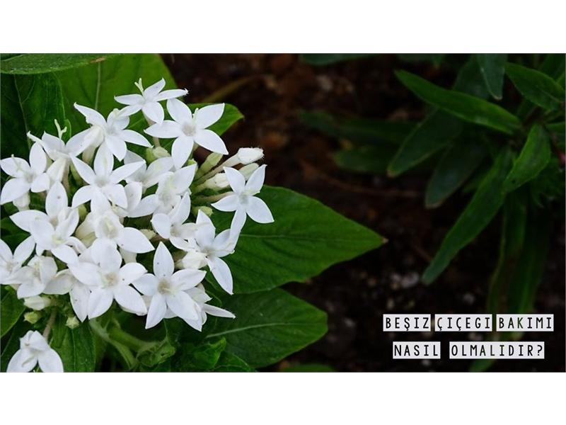 Beşiz Çiçeği Bakımı