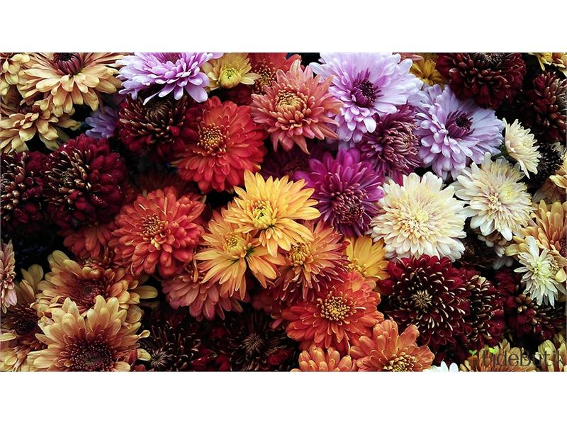 Sonbaharın En Renkli Çiçeği: Kasımpatı