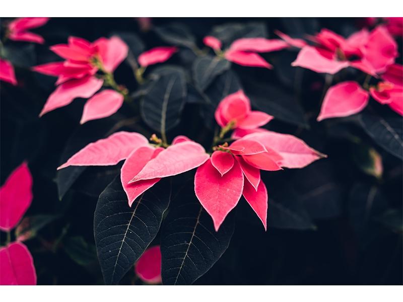 ATATÜRK Çiçeği (Poinsettia) Bakımı