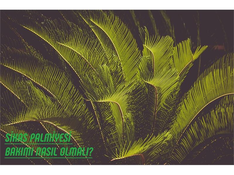 Sikas (Cycas) Palmiyesi Bakımı