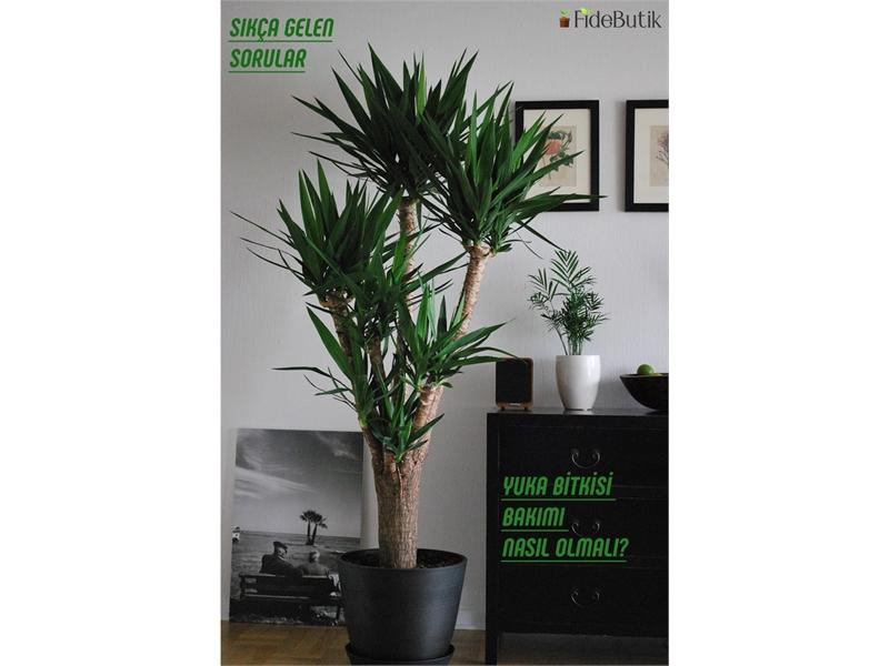 Yuka (Yucca Massengena) Bitkisi Bakımı