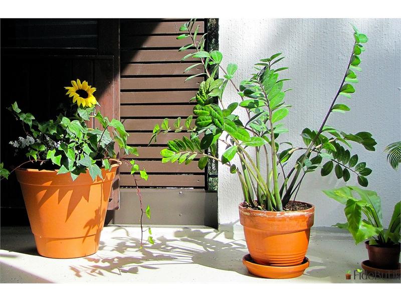 Zamia (Zamioculcas) Bitkisi Bakımı