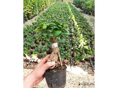Ficus Bonsai (Küçük)