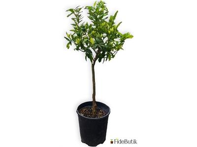 Bodur Kamkat (Kumkuat) Ağacı
