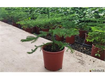 Araucaria (Salon Çamı)