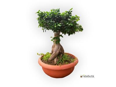 Ficus Bonsai XXL