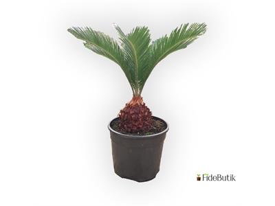 Sikas (Cycas) Palmiyesi - Yalancı Sagu Palmiyesi