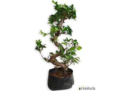 Ficus Bonsai S Gövde