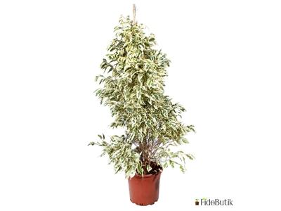 Ficus Benjamin Starlight