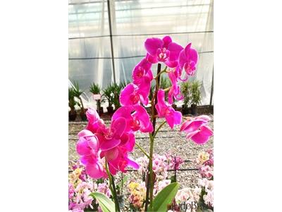 İthal Orkide Çiçeği Çift Dal