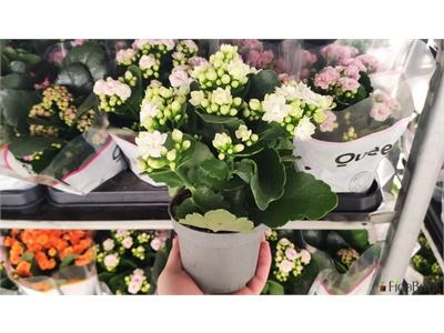Kalanşo (Kalanchoe) Çiçeği