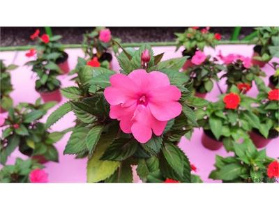 Impatiens (Cam Güzeli) Çiçeği