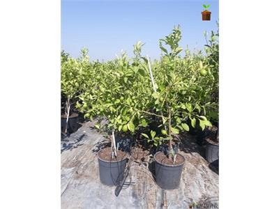 Citrus Bodur Limon Ağacı