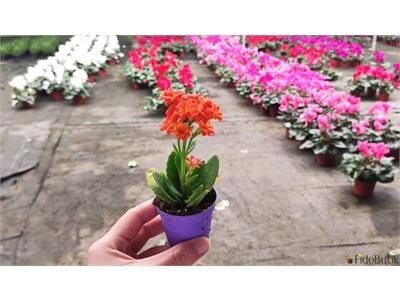 Mini Kalanşo (Kalanchoe) Çiçeği