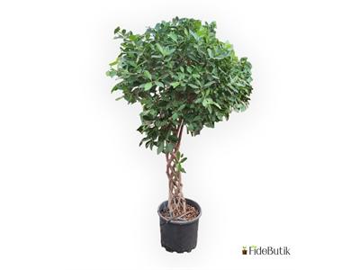 Ficus Nitida Örgülü