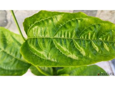 Passiflora (Çarkıfelek) Fidesi