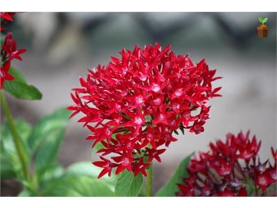 Beşiz Çiçeği 3 Adet