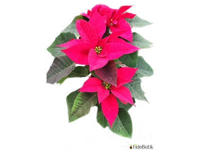 Atatürk Çiçeği (Poinsettia)