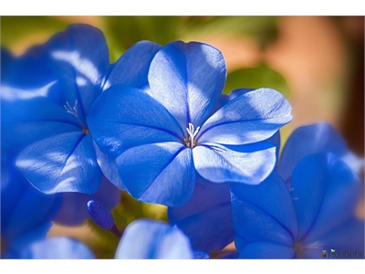 Mavi Yasemin (Plumbago) Çiçeği