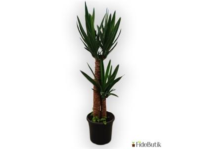 Yuka Bitkisi (Yucca Massengena) 2'li Gövde