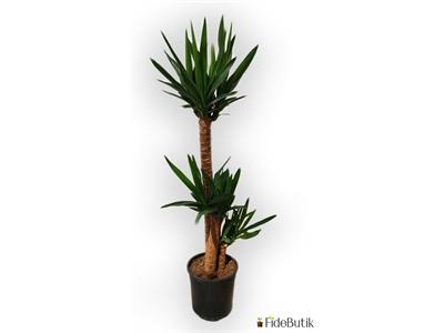 Yuka Bitkisi (Yucca Massengena) 3'lü Gövde